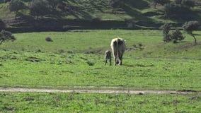 4K ισπανική αγελάδα μητέρων μόσχων που περπατά σε μια καλημέρα του χειμώνα στον τομέα απόθεμα βίντεο