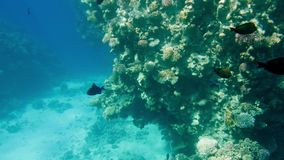 4k καταπληκτικός κάτω από το μήκος σε πόδηα νερού της υποβρύχιας ζωής γύρω από το κοράλλι rees Όμορφο seascape στη Ερυθρά Θάλασσα φιλμ μικρού μήκους