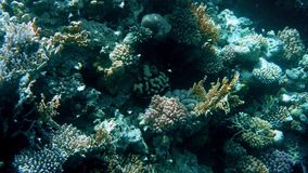 4k καταπληκτικός κάτω από το μήκος σε πόδηα νερού της υποβρύχιας ζωής γύρω από το κοράλλι rees Όμορφο seascape στη Ερυθρά Θάλασσα απόθεμα βίντεο