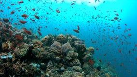 4k κοραλλιογενής ύφαλος με τα υγιή σκληρά κοράλλια και τα ψάρια αφθονίας απόθεμα βίντεο