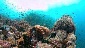 4k κοραλλιογενής ύφαλος με τα υγιή σκληρά κοράλλια και τα ψάρια αφθονίας φιλμ μικρού μήκους