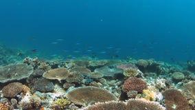4k κοραλλιογενής ύφαλος με τα υγιή σκληρά κοράλλια απόθεμα βίντεο