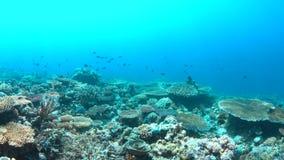 4k κοραλλιογενής ύφαλος με τα υγιή σκληρά κοράλλια φιλμ μικρού μήκους