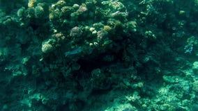 4k μήκος σε πόδηα της όμορφης ccolorful κοραλλιογενούς υφάλου στη Ερυθρά Θάλασσα Καταπληκτική υποβρύχια ζωή φιλμ μικρού μήκους