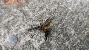 4K μαύρα φέρνοντας τρόφιμα μυρμηγκιών στο πάτωμα απόθεμα βίντεο