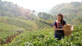 4K Νέα φυλετική ασιατική γυναίκα από τη φράουλα επιλογής της Ταϊλάνδης στη φυτεία τομέων στο καλάθι το πρωί απόθεμα βίντεο
