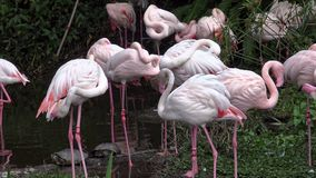 4K ομάδα μεγαλύτερου υπολοίπου φλαμίγκο στη λίμνη Roseus Phoenicopterus στο ζωολογικό κήπο απόθεμα βίντεο