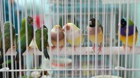 4K πολλοί ζευγάρι των ζωηρόχρωμων πουλιών αγάπης που στέκεται στο ξύλινο ραβδί απόθεμα βίντεο