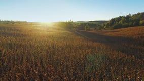 4K Πτήση και απογείωση επάνω από τον τομέα καλαμποκιού στο χρυσό ηλιοβασίλεμα, εναέρια άποψη φιλμ μικρού μήκους