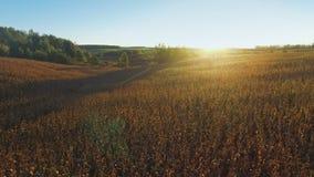 4K Πτήση και απογείωση επάνω από τον τομέα καλαμποκιού στο χρυσό ηλιοβασίλεμα, εναέρια πανοραμική άποψη απόθεμα βίντεο