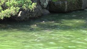 4K σίτιση του κυπρίνου στη λίμνη στην Ταϊβάν φιλμ μικρού μήκους