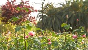 4k, σε αργή κίνηση πυροβολισμός, ένα κρεβάτι λουλουδιών των ρόδινων τριαντάφυλλων φυτεία με τριανταφυλλιές απόθεμα βίντεο