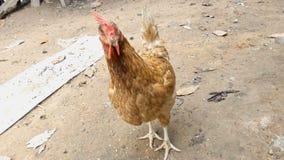 4K στενό επάνω πυροβοληθε'ν κοτόπουλο που τρώει τα τρόφιμα στο αγρόκτημα επαρχίας φιλμ μικρού μήκους