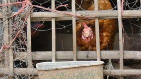 4K στενό επάνω πυροβοληθε'ν κοτόπουλο που τρώει τα τρόφιμα στο αγρόκτημα επαρχίας με τον περιβαλλοντικό ήχο φιλμ μικρού μήκους