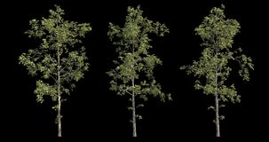 4k συλλογή μήκους σε πόδηα του θυελλώδους δέντρου για την αρχιτεκτονική απεικόνιση με τη μάσκα διακοπής ελεύθερη απεικόνιση δικαιώματος