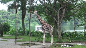 4K, το ασιατικό κορίτσι φαίνεται giraffe που τρώει από ένα κιβώτιο με τα τρόφιμα στο ζωολογικό κήπο απόθεμα βίντεο