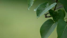 4K το μήκος σε πόδηα UHD της πτώσης βροχής νερού που τρέχει σε πράσινο βγάζει φύλλα απόθεμα βίντεο