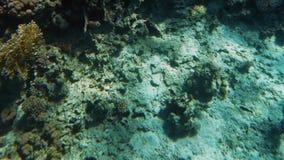 4k όμορφο βίντεο των ψαριών που κολυμπούν γύρω από τα κοράλλια στη Ερυθρά Θάλασσα Σχολείο και κοπάδι των υποβρύχιων κατοίκων στον φιλμ μικρού μήκους