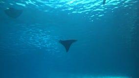 4k, взгляд подводного гигантского морского дьявола, birostris Manta suimming с рыбами видеоматериал