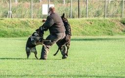 K9 выслеживает тренировку Стоковая Фотография RF