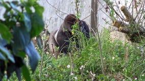 4K, горилла горы есть с рукой некоторую траву в обезьянах леса травоядных сток-видео