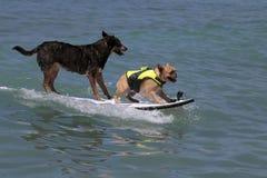 K9 занимаясь серфингом Стоковые Изображения