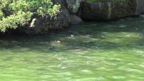 4K кормить карпа в пруде в Тайване видеоматериал