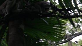 4k, лемур идя на ветвь дерева в зоопарке акции видеоматериалы