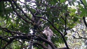 4k, лемур сидят на ветви дерева в зоопарке сток-видео