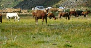 4k лошадь пася на злаковике, shangri-Ла Юньнань, фарфор акции видеоматериалы