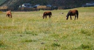 4k лошадь пася на злаковике, shangri-Ла Юньнань, фарфор видеоматериал