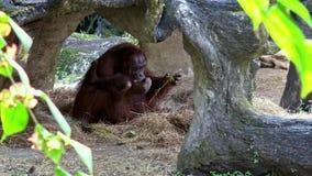 4K, орангутан матери и младенца bornean отдыхая внутри пещеры на зоопарке леса акции видеоматериалы