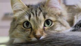 4K: Охотник котенка зеленых глаз Крупный план стороны Макрос сток-видео