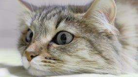 4K: Охотник котенка зеленых глаз Крупный план стороны Макрос видеоматериал