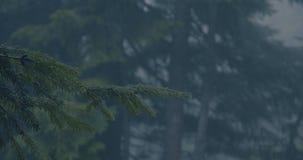 4k - 一棵杉树的绿色枝杈在慢动作的一个黑暗的森林里在雨期间 股票视频