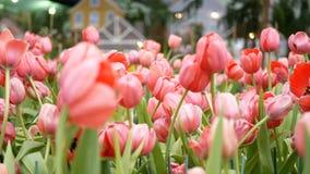 4K 五颜六色郁金香在春季的花田,桃红色郁金香