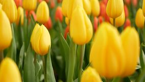 4K 五颜六色郁金香在春季的花田,黄色郁金香