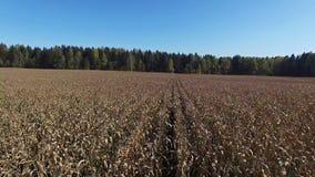4K 低飞行和起飞在成熟麦地,上为收获准备,鸟瞰图 股票录像