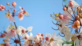 4K 吹由在春天季节的风的美丽的开花的桃红色花与天空蔚蓝在背景,拷贝空间 影视素材