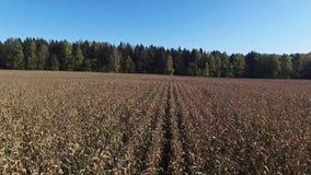 4K 在成熟麦地,上的低飞行为收获准备,鸟瞰图 股票录像