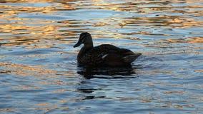 4K 在水一会儿黄昏的鸭子 伏尔塔瓦河河在布拉格,捷克 股票视频