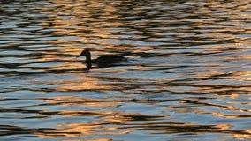 4K 在水一会儿黄昏的鸭子 伏尔塔瓦河河在布拉格,捷克 股票录像