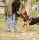 k9的驯狗师咬住在行动的衣服 在操场的训练课一条德国牧羊犬狗的 库存照片