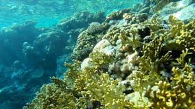 4k - 美丽的珊瑚礁在有很多惊人的鱼的红海 影视素材