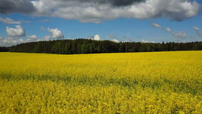 4K 飞行和起飞在开花的黄色油菜籽上调遣晴天,空中全景 股票录像
