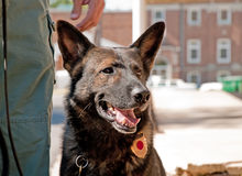 K-9 officer next to his handler Stock Images