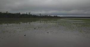4K aéreo - vuelo sobre algunos cisnes que nadan entre las cañas metrajes