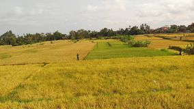 Aerial drone photo of yellow rice field on Bali island. Drone photo of yellow rice field on Bali island. Indonesia royalty free stock images