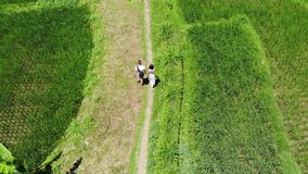 4K Aerial drone shot of tourists on vacation walking the path in rice paddy terrace fields on Bali island. Tourists on vacation walking the path in rice paddy stock video footage