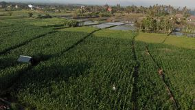 4K aerial flying drone video of young couple tourists walking in cornfield. Bali island. stock photography